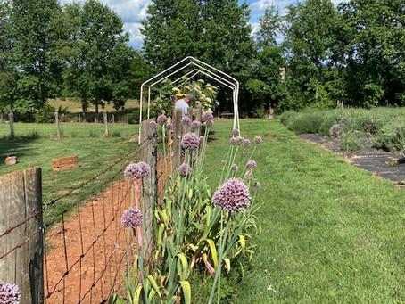 Complimentary Allium Hollandicums (Dutch Garlic) stems Tomorrow!