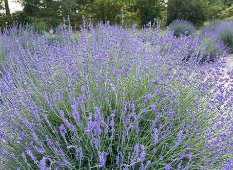 Seek Lavender Spring - Part 10