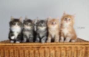 chatterie llillandril élevage chats forêt norvégienne