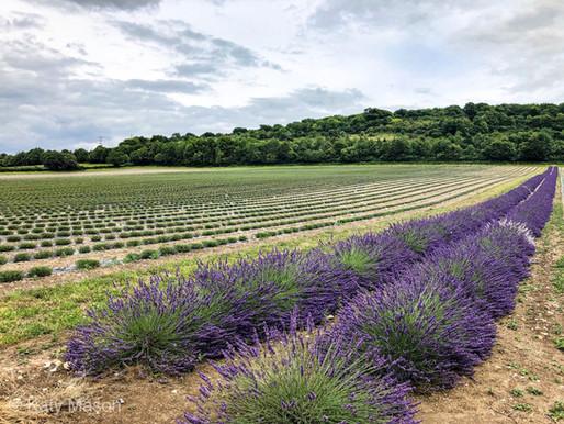 UK: A Day Out Amongst Castle Farm's Lavender Fields