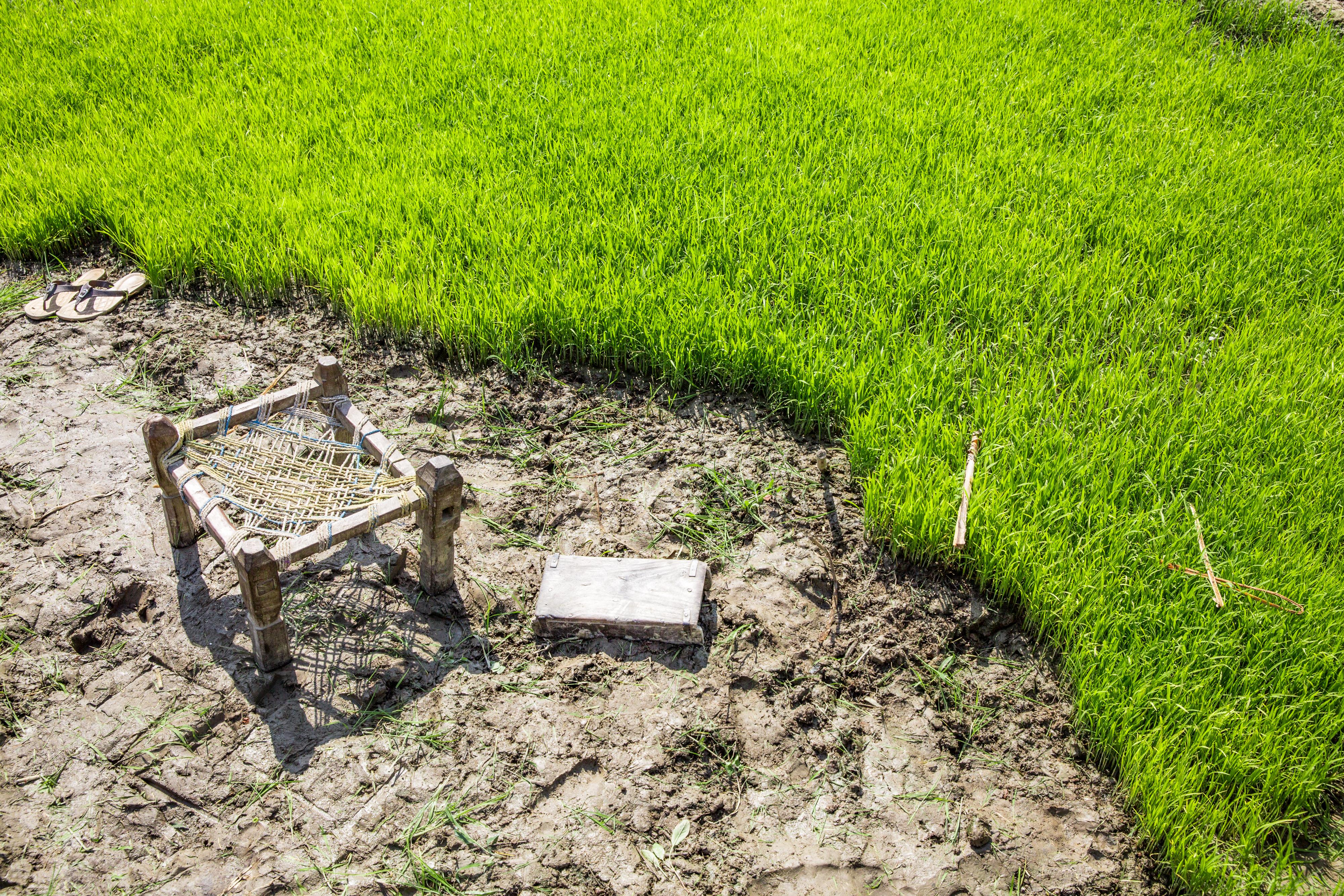 Rice fields people seeding rice-2442