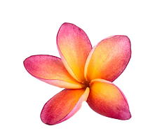 set%2520of%2520frangipani%2520flowers%25