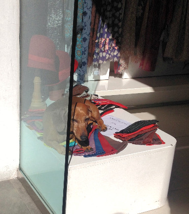 Cute dog sitting in a window display in Florence. Photo by Diana Dinverno