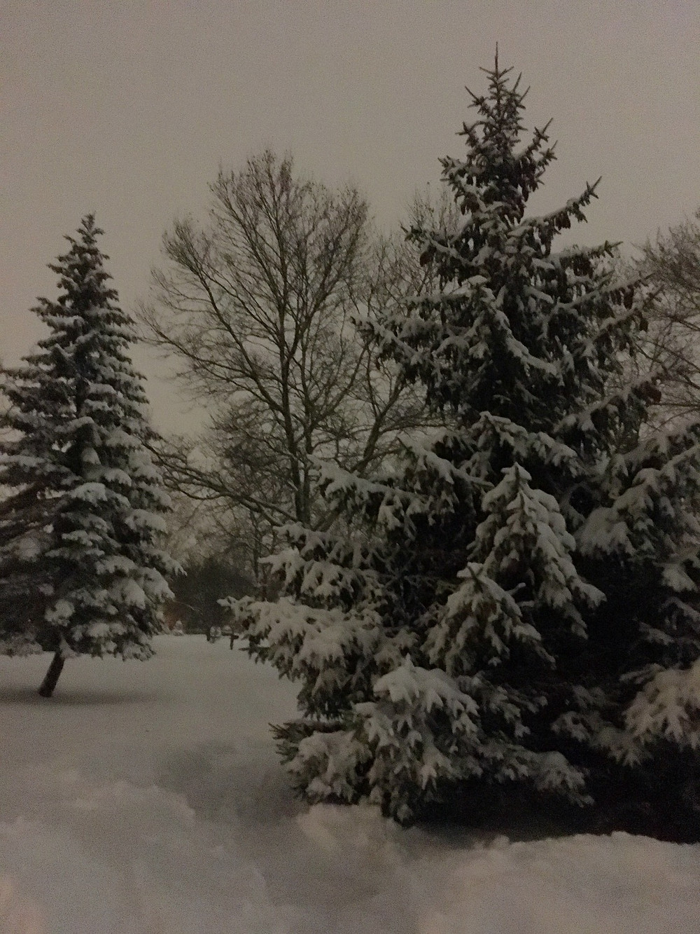 Wintery scene with pines. Photo by Diana Dinverno