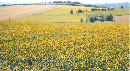 Field of Sunflowers in Cortona, Italy. Photo by Diana Dinverno