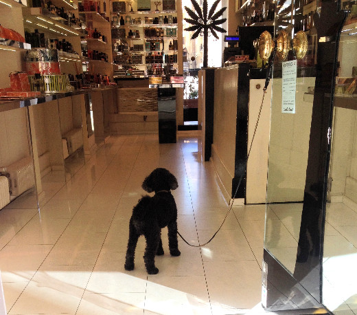 Pup awaiting customers in Florence shop. Photo by Diana Dinverno