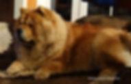 puppies Chow chow FCI, szczenięta chow-chow, hodowla chow-chow, kennel chow-chow FCI