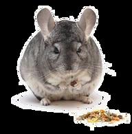 chinchila alimentação