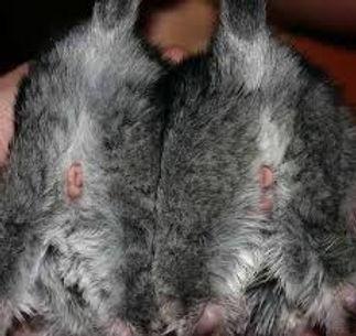 sexagem de filhotes de chinchila