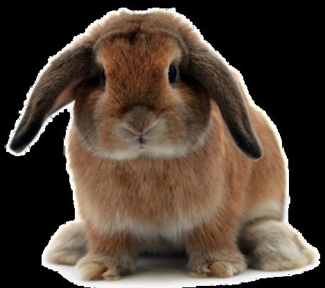 coelho com orelhas caidas.png