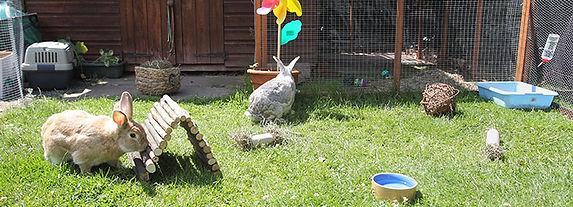 coelhos soltos no quintal.jpg