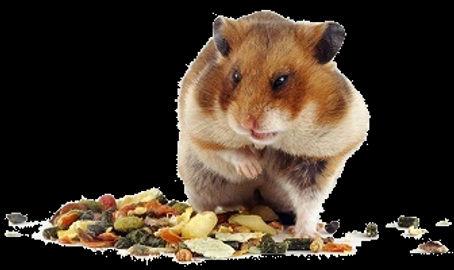 hamster_alimentação.jpg