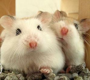 sexagem hamster.jpg