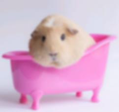 guinea_pig_bathing.png
