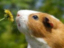 olfato-porquinho-da-india.jpg