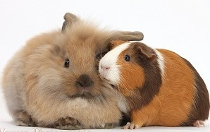 Estou pronto para ter um roedor ou coelho?