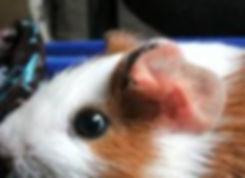 audição-do-porquinho-da-india