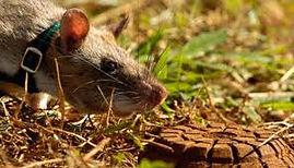 rato-curiosidades