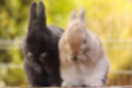 sexagem de coelhos.jpg