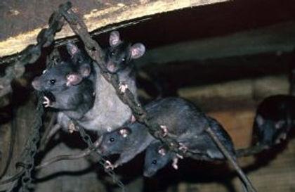 rato-origem