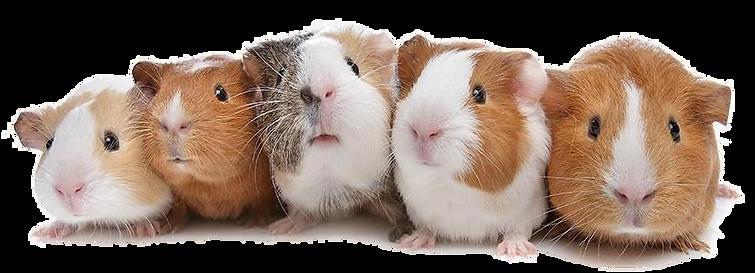 porquinhos-da-india.png