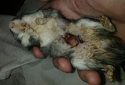 tumor em glandula de odor de gerbil.jpg