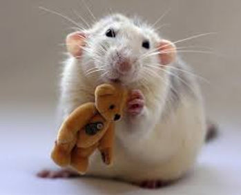 rato-caracteristicas