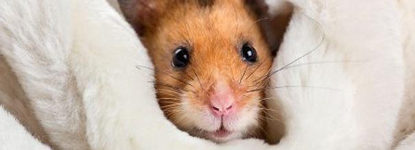hamster-curiosidades