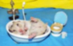 higiene-do-hamster