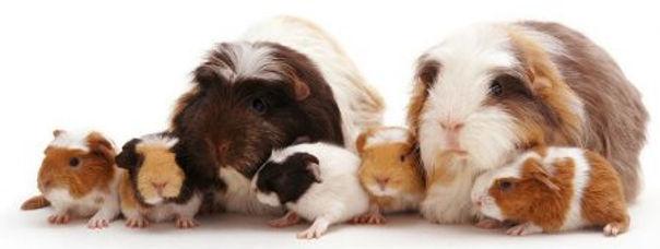 reprodução-de-porquinho-da-india