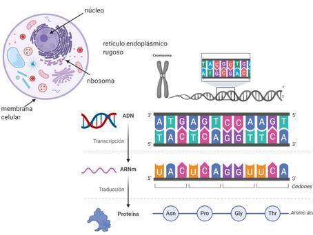 ADN, ARN y proteínas