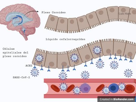 ¿Cómo afecta el coronavirus a tu cerebro?