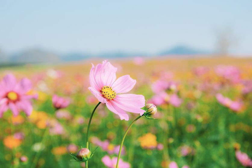 Cosmas pink flower Catholic women's Bible study