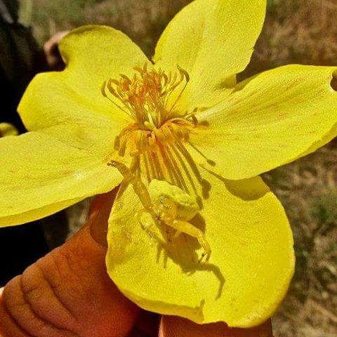 Kapok Flower - A Taste Of The Ord Valley