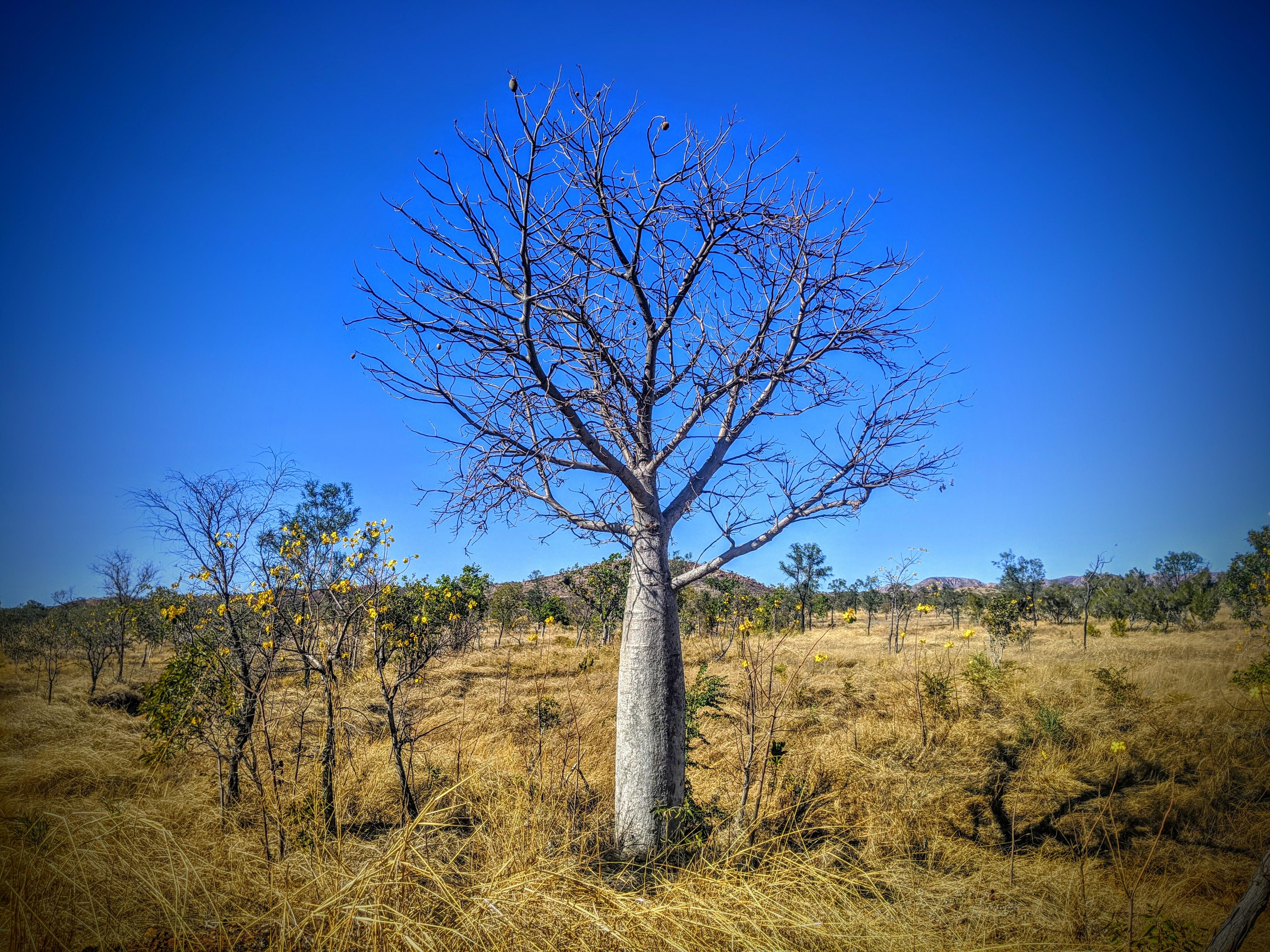 BOAB TREE, EAST KIMBERLEY, A TASTE OF TH