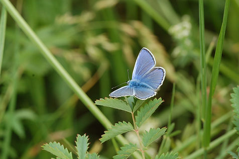 4_Azuré_de_la_Bugrane,_Argus_bleu.JPG