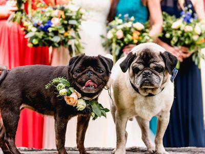 Pug bridesmaids