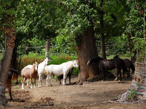 Les chevaux d'équithrapie 63 prennent le soleil du puy-de-dôme en Auvergne et attente les personnes pour la thérapie