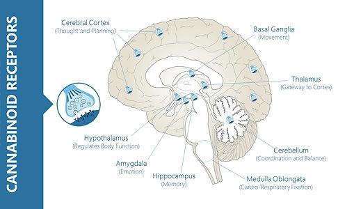 Endocannabinoid receptors in the brain