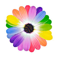 Rainbow Flower -  Multi Colored Petals o
