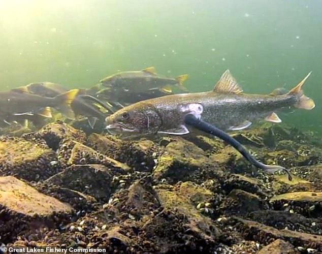 Greg Harriman Vermont Vampire Fish