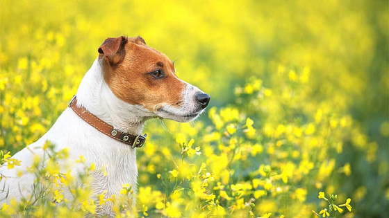 Dog Safety Tips for Spring Time