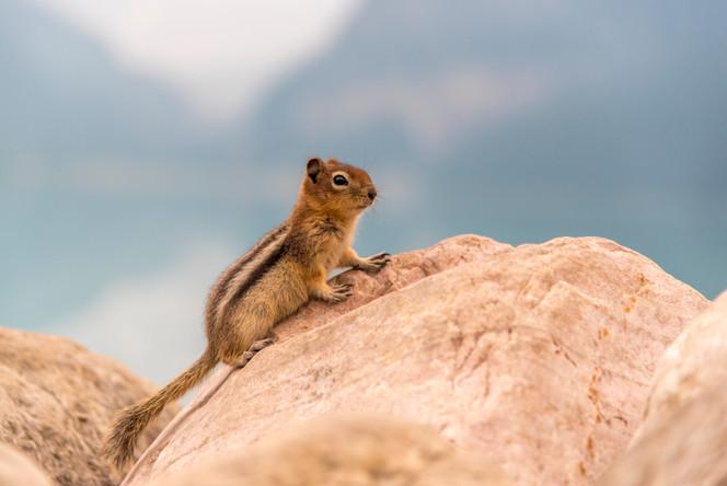 Squirrel Chipmunk, Lake Louise