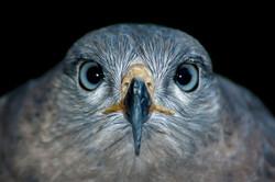 Falcon Head-On
