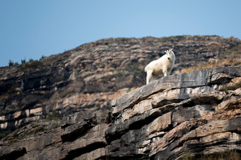 Mountain Goat, Lake Louise