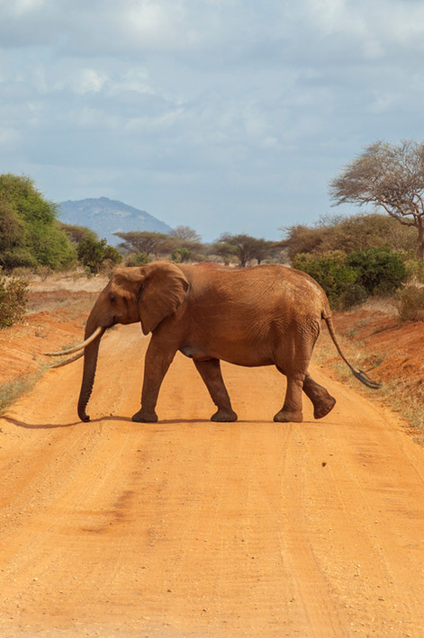 Bull Elephant crossing road