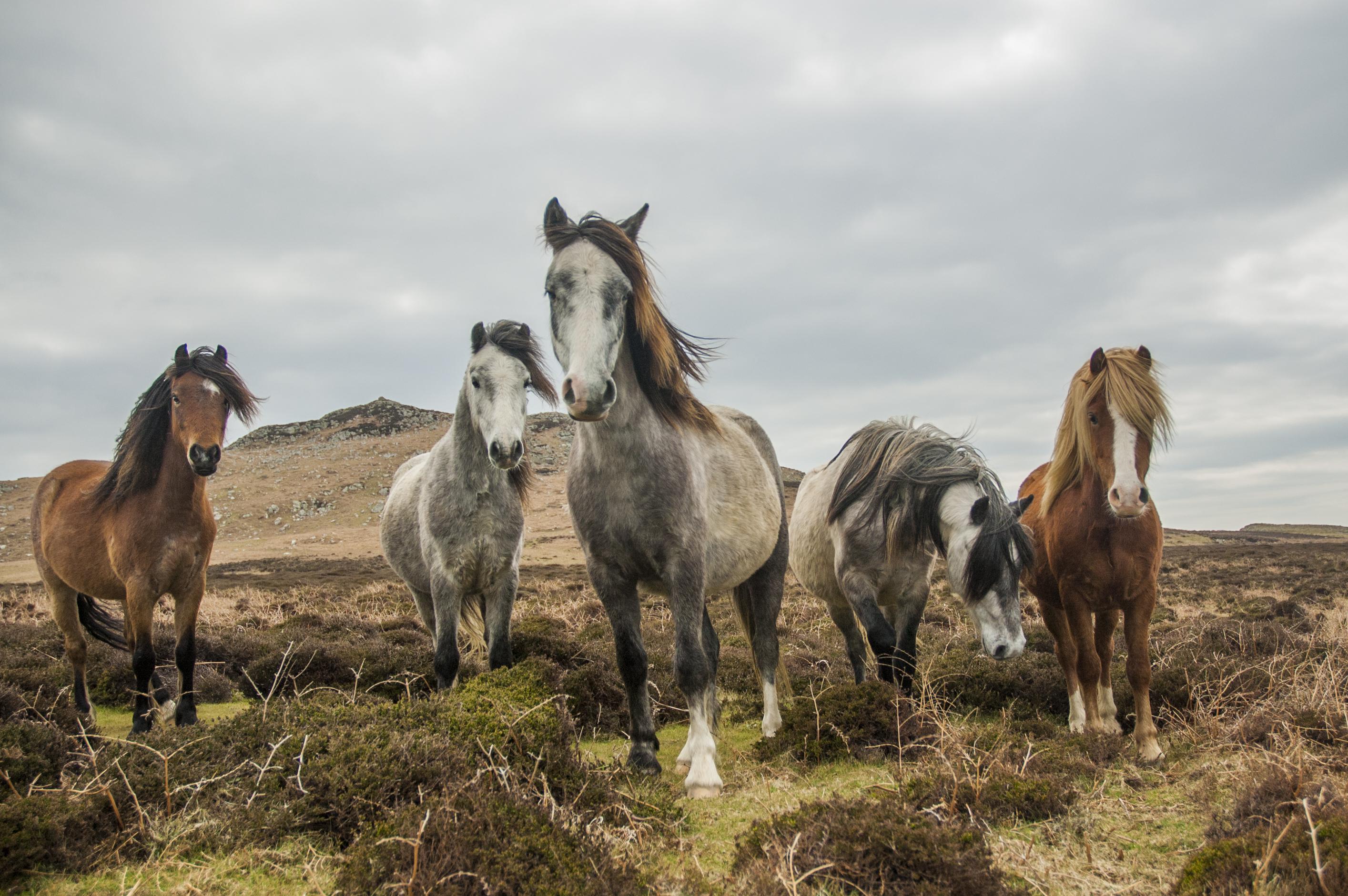 Wales - Wild Horses