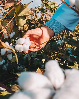 Recolentando-algodón-Kidolphin.jpg