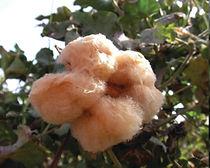 cotton colors2.jpg