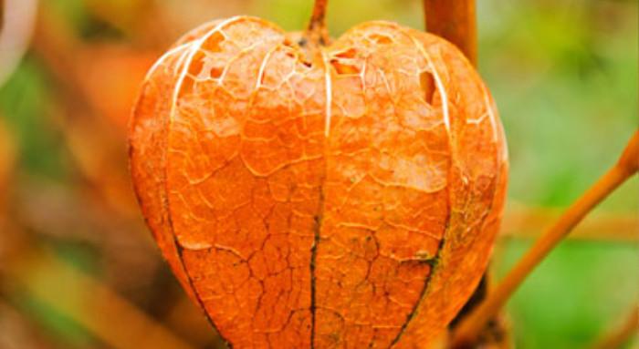 fruto de la uchuvilla imagen similar a un corazón